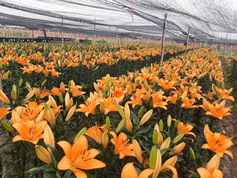 Hướng dẫn bảo quản hoa Lily kho lạnh